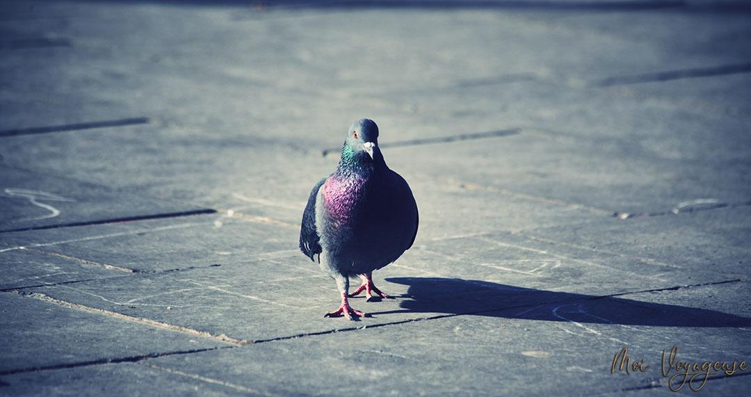 Pigeon Venise Place saint marc