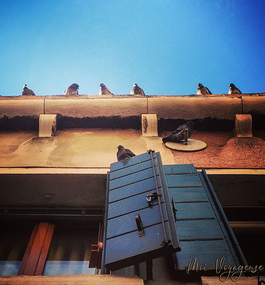 Pigeon venise fenetre